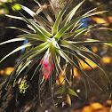 Air plant (Bromeliaceae)