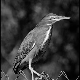Green Heron by Dave Lipchen - Black & White Animals ( green heron )