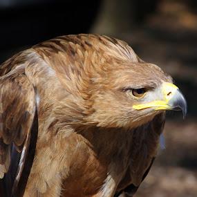 by Max Molenaar - Animals Birds ( preditors, animals, nature, zoom )