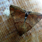 Castor Semi-Looper Moth