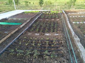 Photo: Domateslere, biberlere, salatalık ve patlıcanlara damla sulama