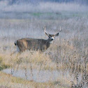 Black-tailed Deer