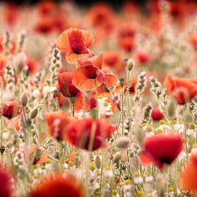 Poppy Field by Leigh Brooksbank - Nature Up Close Flowers - 2011-2013 ( poppy field, nature, flora, meadow, poppy, poppies, wild flowers )
