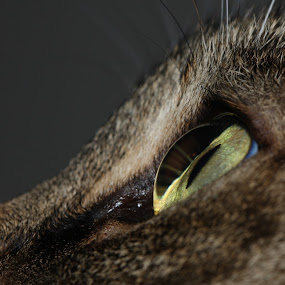 Cooper's Eye by Tanya Witzel - Animals - Cats Portraits ( canon, cat, macro, pupil, pet, whiskers, eyeball, kitty )