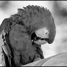 Scarlet Macaw by Dave Lipchen - Black & White Animals ( scarlet macaw )