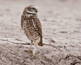 Photo: Burrowing owl - I would have missed seeing the following burrowing owls if this one hadn't flown right by my car and landed on the edge of an irrigation ditch.