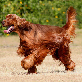 Red on the Run by Debby  Raskin - Animals - Dogs Portraits