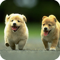 Chow Chow Dog Live Wallpaper icon