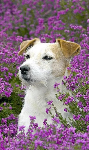 Jack Russell Terriers Dog