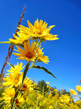 Photo: Golden flowers under a clear sky at Carriage Hill Metropark in Dayton, Ohio.