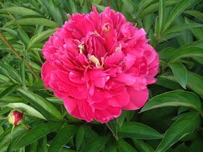 Photo: ゼネラルマクマオン 単色の八重咲きで開花時の花が大きい