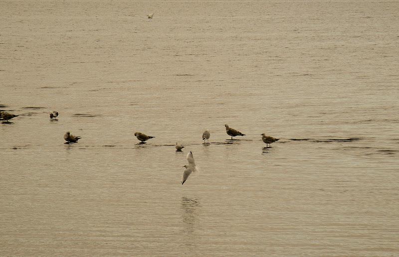 gabbiani al lago di maxdag