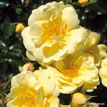 Photo: Bodendecker Sunny Rose®, Züchter: W. Kordes' Söhne 2001