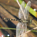 Small Pincertail