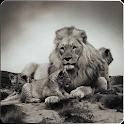 lions/tiger hd wallpaper icon
