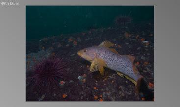 Photo: Kelp green ling, Red urchin