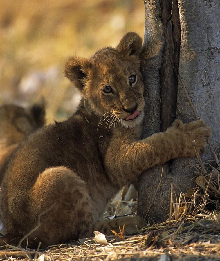by Fanie Weldhagen - Animals Other Mammals ( mammals, cats, lion )