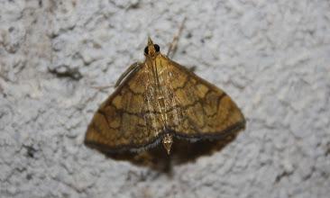 Photo: Anania verbascalis  Lepidoptera > Crambidae