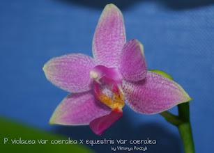 Photo: Phal. violacea var coeralea x equestris var coeralea