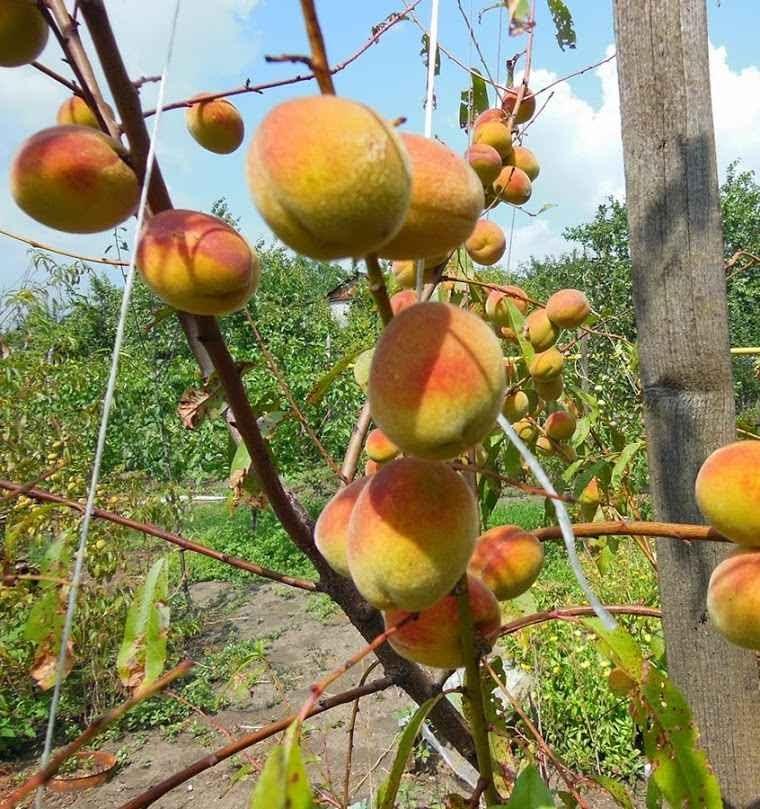 Персик поражённый кластероспориозом