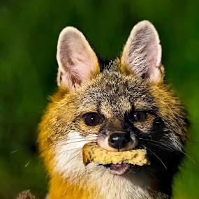 Fox Stealing a Piece of Bread by Bill Frische - Animals Other Mammals ( steal, red, fox, bread, grey, animal )