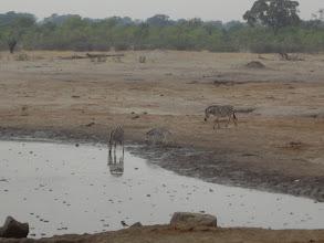 Photo: Thirsty zebra fam