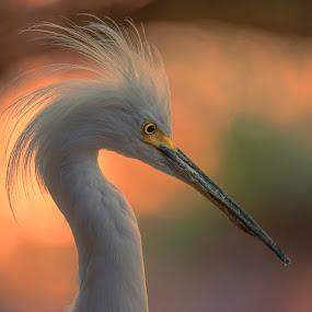 Sunrise Egret by Lisa Coletto - Animals Birds ( bird, avian, head shot, wader, egret,  )
