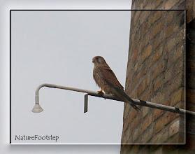 Photo: Tornfalk, hona - Falco tinnunculus - Common Kestrel, female NF Photo 111004, Falsterbo Fyr http://nfbird.blogspot.com/2011/12/tornfalk-falco-tinnunculus-common.html