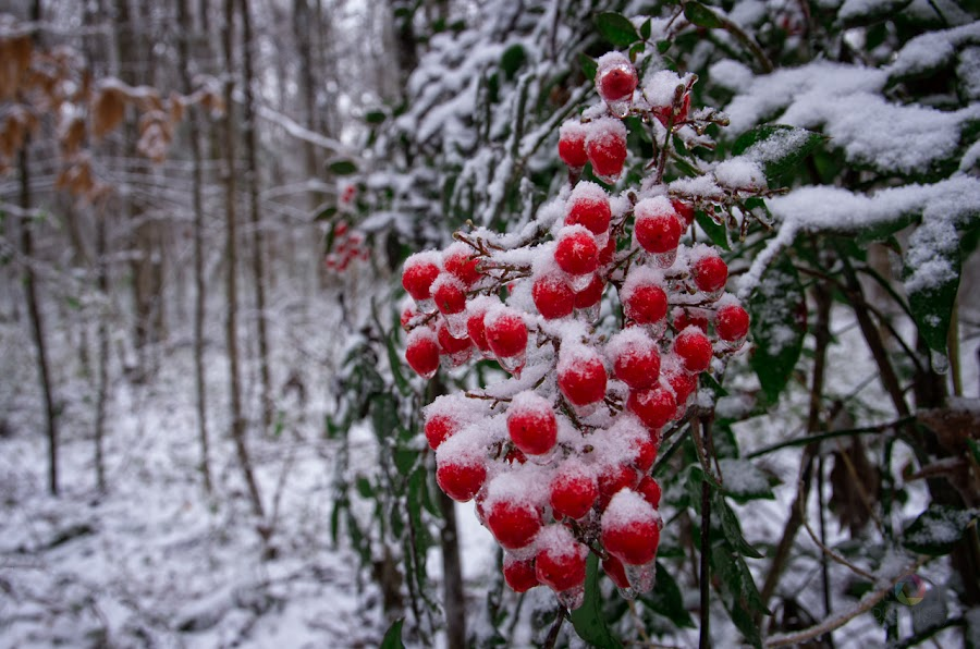 by Jeff Dugan - Nature Up Close Other plants ( winter, ice, snow, berries )