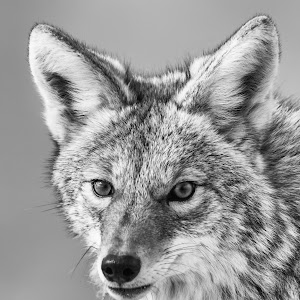 Wolf Portriat in BW.jpg