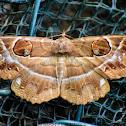 Owlet Moth / Owl Moth