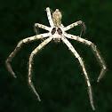 Giant crab spider, Cane spider