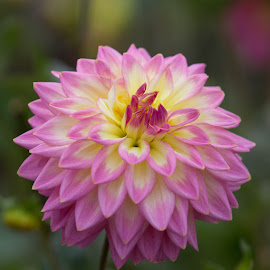 Pink and yellow by Janet Marsh - Flowers Single Flower ( pink, dahlia )