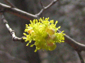 Photo: ダンコウバイ(クスノキ科) 2/12 吉祥山にて。春の山で真っ先に咲き出す木の花で、枝を折ると 肉桂 ( にっけい ) の香りがします。葉は秋に黄葉します。