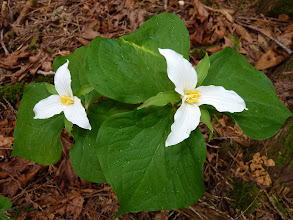 Photo: Western Trillium are somewhat protected by the folk belief that if the bloom is picked it will not flower again for seven years