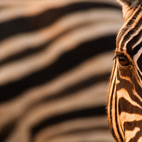 Etosha Zebra by Ken Dyball - Animals Other ( zebra etosha closeup warm light absract )