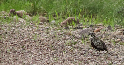 Photo: Fool's quail again.