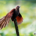 Andaman Coucal