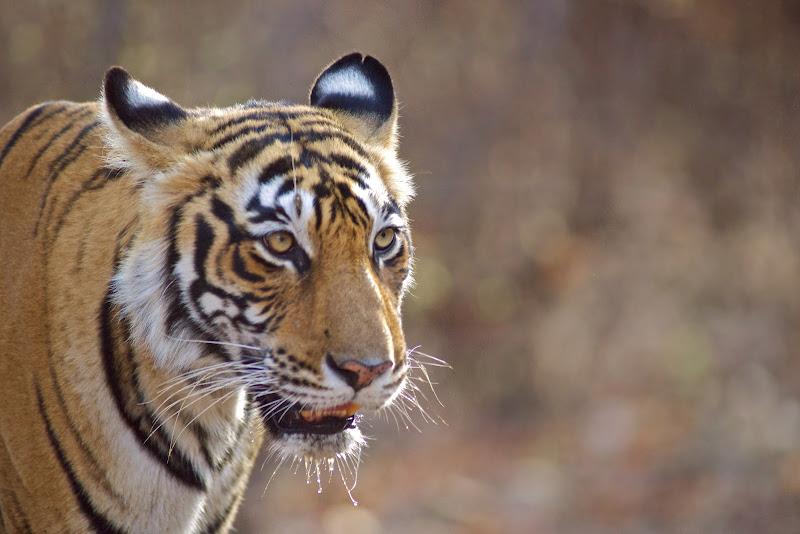Photo: T17 aka Sundari of Ranthambore