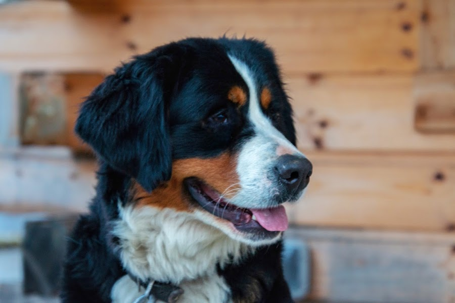 Bernese Mountain Dog by Margie Troyer - Animals - Dogs Portraits