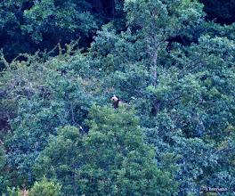 Photo: ¿Dónde está? ¡En un árbol! Allí estaba esta osa comiendo bellotas. Impactante ver a un animal tan grande subir, bajar y moverse por este roble con la soltura y facilidad con la que lo hacía.