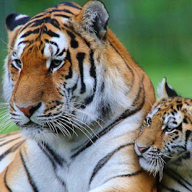 Mummy and cub by Gérard CHATENET - Animals Lions, Tigers & Big Cats (  )