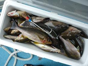Photo: クマガイさんの釣果。 ハリを飲み込んだ魚は別のクーラー。 大漁でした。