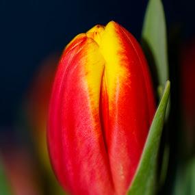 Tulip by Svetoslava Todorova - Flowers Single Flower ( macro, red, tulip, spring, flower )