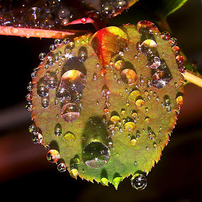 droplets on leaf by Capucino Julio - Nature Up Close Natural Waterdrops ( orange, rose, of, red, on, yellow, leaf, droplets )