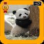 New Panda PF