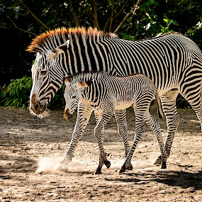Grevy's Zebras by Troy Wheatley - Animals Other Mammals (  )