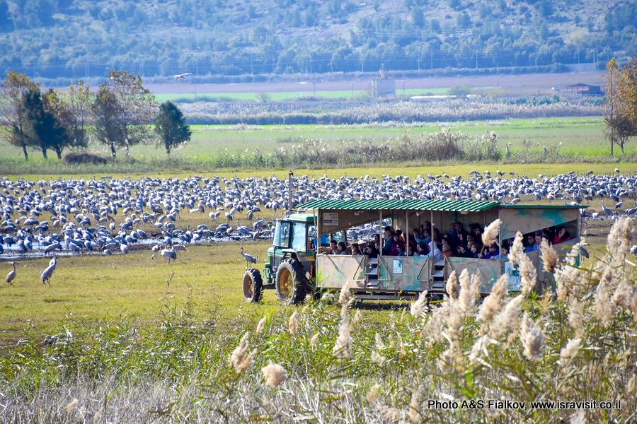 Наблюдение птиц в Израиле. Подвижная наблюдательная площадка в птичьем заповеднике Хула.