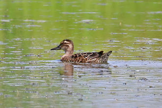 Photo: Garganey