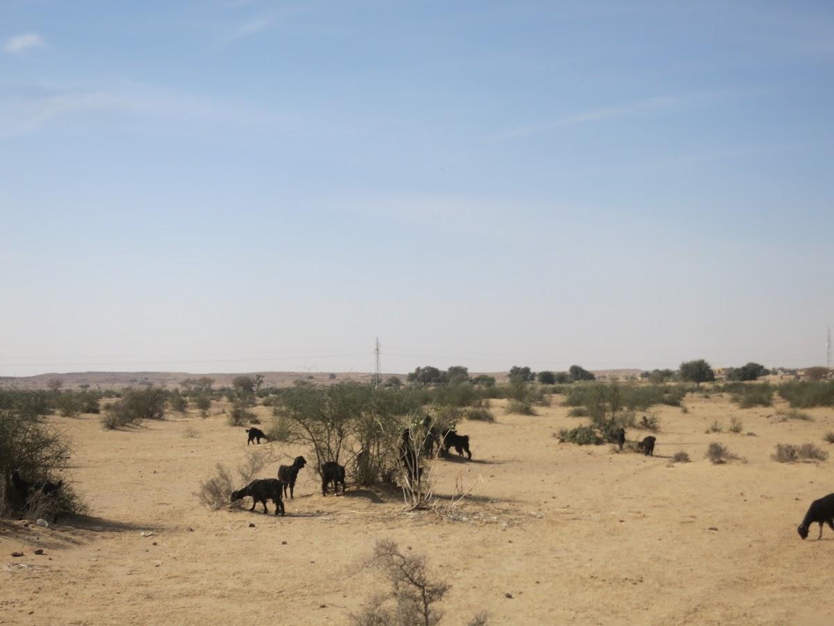 India. Rajasthan Thar Desert Camel Trek. Goats feeding around the acacia bushes